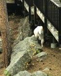 MORU Mountain Goats-2229